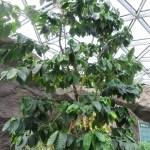 アラビアコーヒーの木