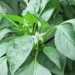 Chili pepper/ トウガラシ