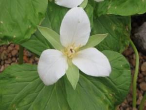 オオバナノエンレイソウ 花のアップ
