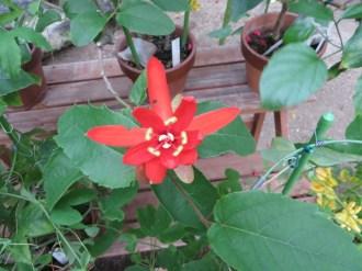 Passiflora cv. Piresii