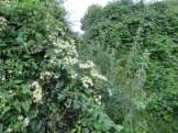Flower of Clematis apiifolia