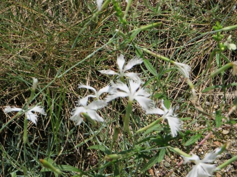 Dianthus serotinus/ ディアンサスセロティナス