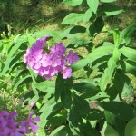 Flower of garden phlox