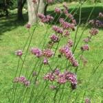 サンジャクバーベナ 花の姿