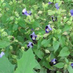 Flower of Bluewings