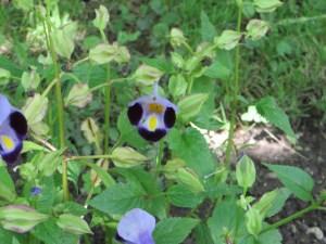 ハナウリクサ 花の姿