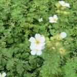 白花のキンロバイ(ギンロバイ)