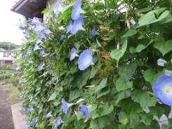 ソライロアサガオ 植物の様子