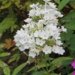 白花のクサキョウチクトウ