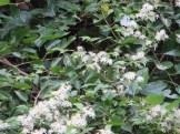 ボタンヅル 花の様子
