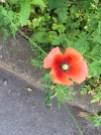 ナガミヒナゲシの花のアップ