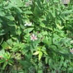 タイワンホトトギス 花の様子
