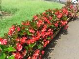 赤の強いベゴニアの花壇