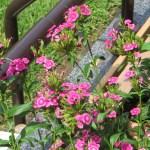 ダイアンサス/ナデシコ花の様子