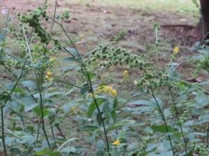 キンミズヒキ 植物の姿