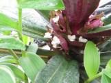 ムラサキオモト 花の姿