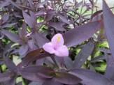 ムラサキゴテン 花のアップ