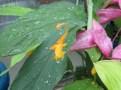 グロッバ・ウィニティ の花のアップ
