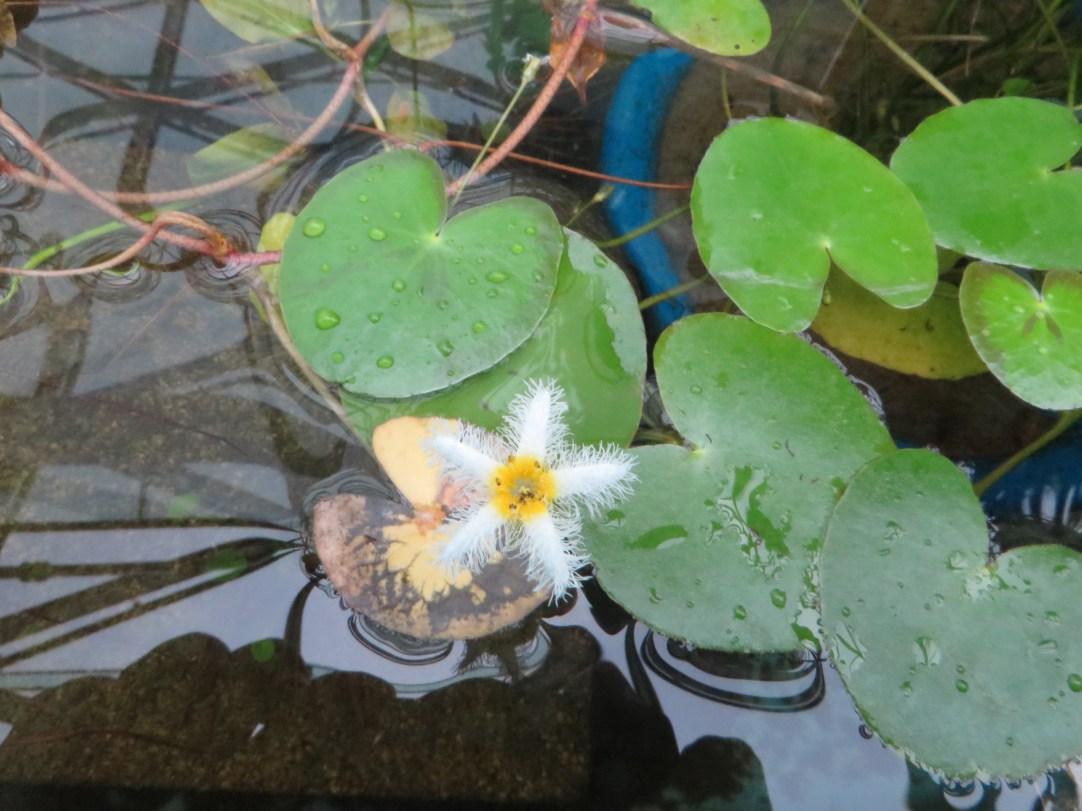 ガガブタの花 アップ