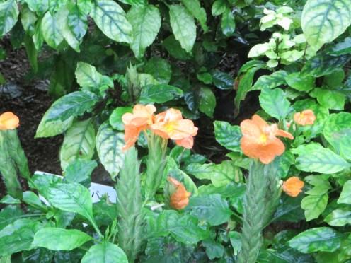 ジョウゴバナ 花の様子