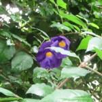 Thunbergia vogeliana/ ツンベルギア・フォーゲリアナ