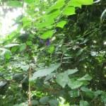 ツンベルギア・フォーゲリアナの植物の様子