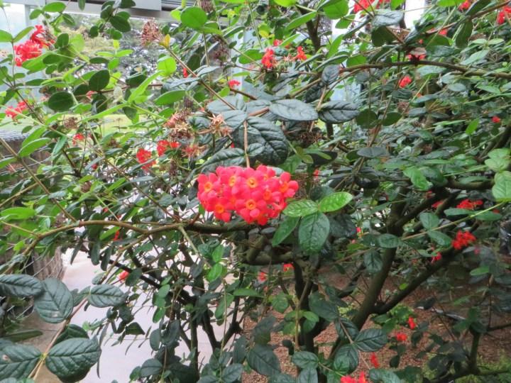 花の咲いているベニマツリの様子
