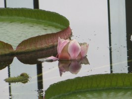 水面ぎりぎりのオオオニバスの花