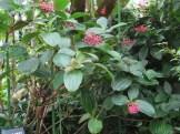 サンゴノボタン 花と木の様子
