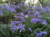 アガパンサス 花のアップ