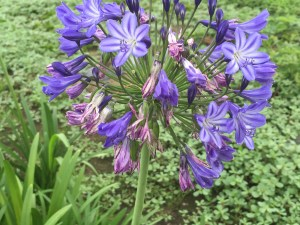 アガパンサス 花のアップ (紫の濃い品種)