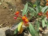 ヤナギトウワタ花の姿