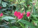 Pavonia gledhillii/ パボニア・グレドヒリィ
