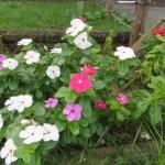ニチニチソウの花の姿