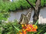 アゲハチョウとヤナギトウワタ