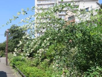 ミヤギノハギ (白花)