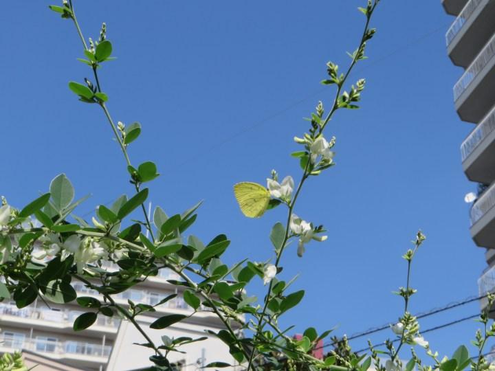 ミヤギノハギ (白花)と黄色い蝶