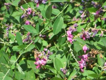 ミヤギノハギ (紅花)