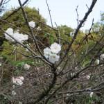 秋のコブクザクラの花