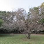 秋のコブクザクラの花が咲いている様子
