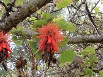 エリスリナ・アビシニカの花のアップ