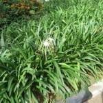 スパイダーリリーの花