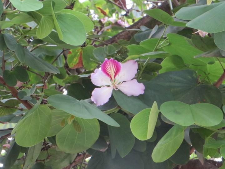 Pink Orchid Tree/ ピンクオーキッドツリー