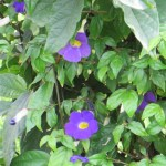 Flowers of Bush Thunbergia