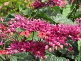 Java glory vineの花のアップ