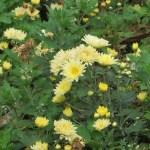 キガリの菊 スプレー菊