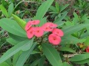 Flowers of Christ plant ハナキリン