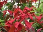 Poinsettia/ ポインセチア
