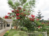 Tree of Poinsettia ポインセチア