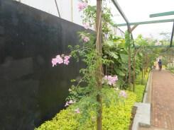 ピンクノウゼンカズラの植物の様子